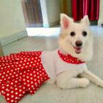angel-pomeranian-dog-in-polka-party-dress